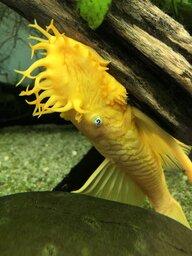 Goldfishfinger